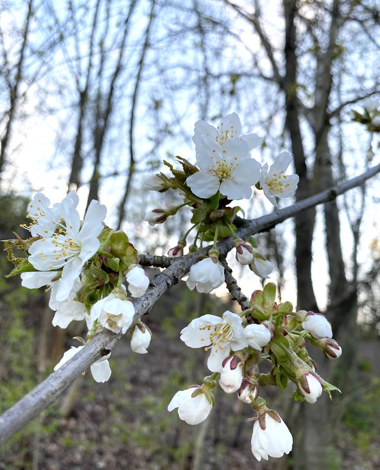 En naturbild på vit blomma i ett träd.