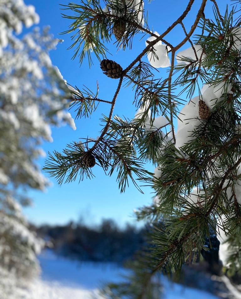En kotte på en tall med snötäckta grenar och klarblå himmel bakgrunden.